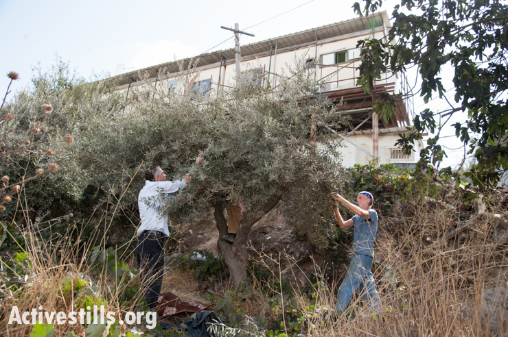 Israeli settlers and soldiers disrupt olive harvest, Hebron, Wes